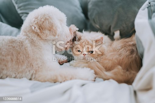 a toy poodle licking on a cat on bed making friends while the cat ignoring the irritating puppy