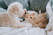 istock a toy poodle licking on a cat on bed making friends while the cat ignoring the irritating puppy 1226688514