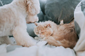istock a toy poodle licking on a cat on bed making friends while the cat ignoring the irritating puppy 1226688549