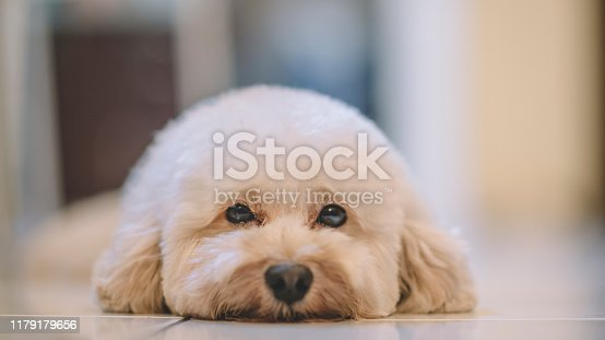 a toy poodle with a pink ribbon resting