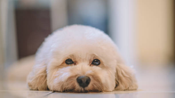 a toy poodle resting on floor stock photo