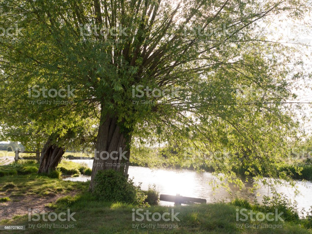 a tree at the side of a river in the countryside looking relaxing and beautiful with no people in essex uk royalty-free stock photo