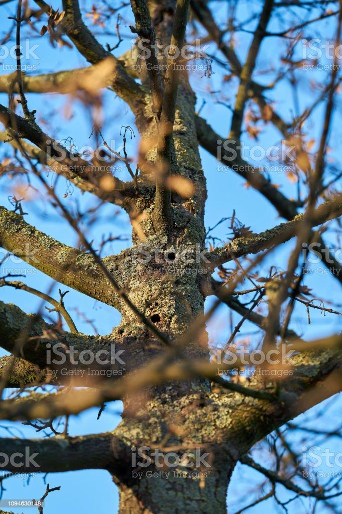 ein Baum von der asiatischen Longhorn Beetle befallen – Foto