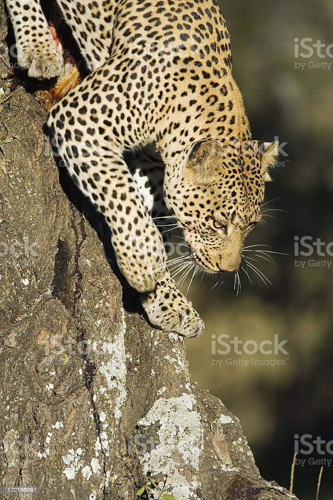 LEOPARD DESCENDING a TREE royalty-free stock photo