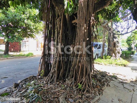 an old tree with roots in a city