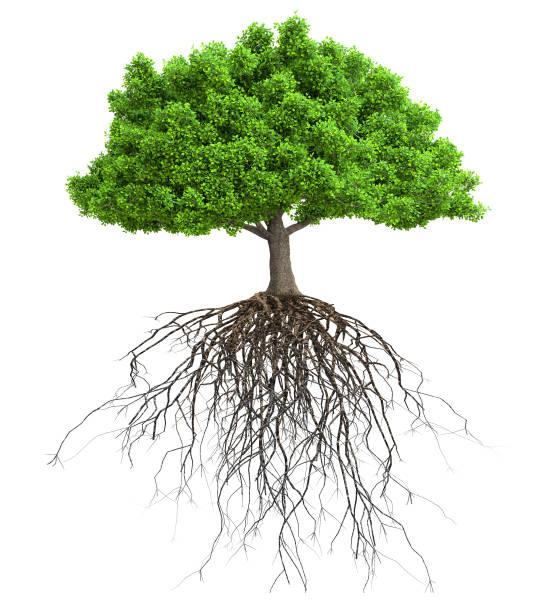 een boom met de wortels geïsoleerde 3d illustratie - wortel plantdeel stockfoto's en -beelden