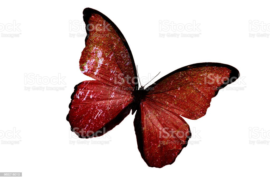 a tropical butterfly of red color. isolated on white background royalty-free stock photo