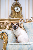 a two-color cat without tail of Mekong Bobtail breed with a jewel a precious necklace of pearls around his neck sits on a retro baroque chair in a royal French interior. Theme is luxurious and rich.