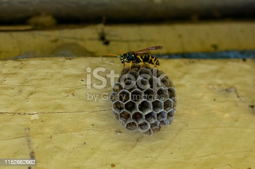 a wasp sits on a nest to lay larvae in spring for breeding