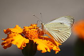 a white cabbage butterfly is pollinating an orange marigold flower closeup in a garden in zeeland, holland in summer