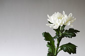 istock a white chrysanthemum in a gray gradation background 1188065914