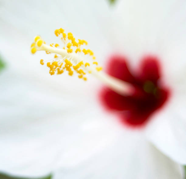 a white, tender, hibiscus flower stock photo