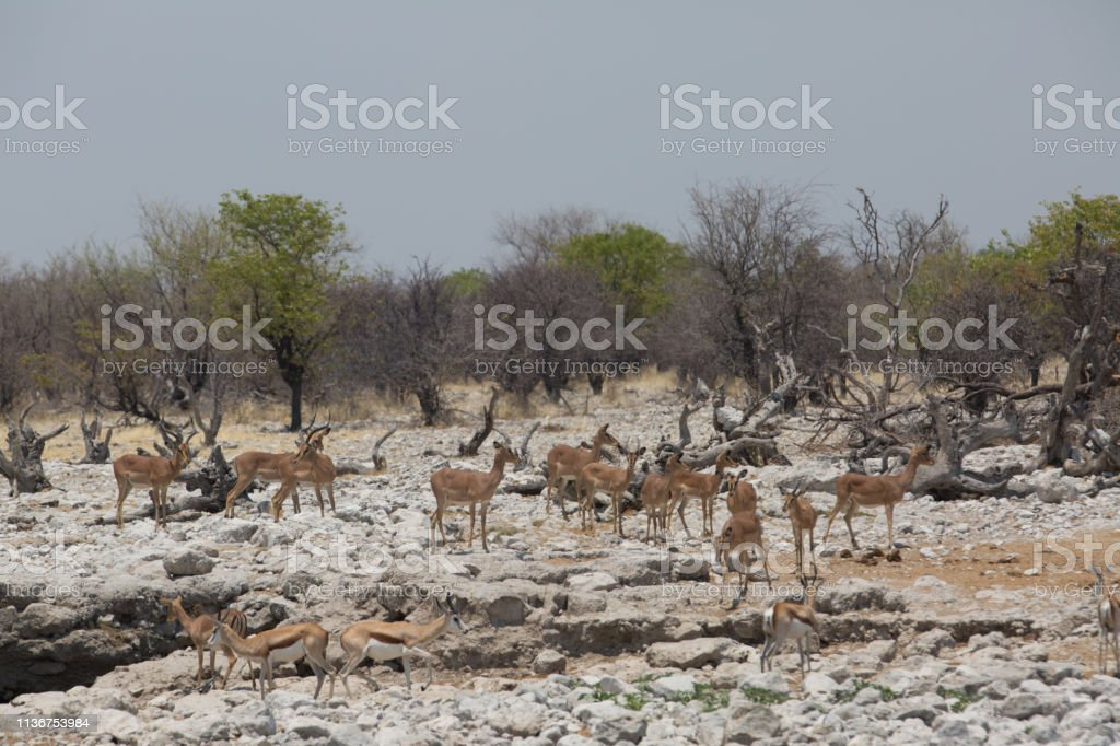 some antelope eating in the savanna of africa in the wild nature