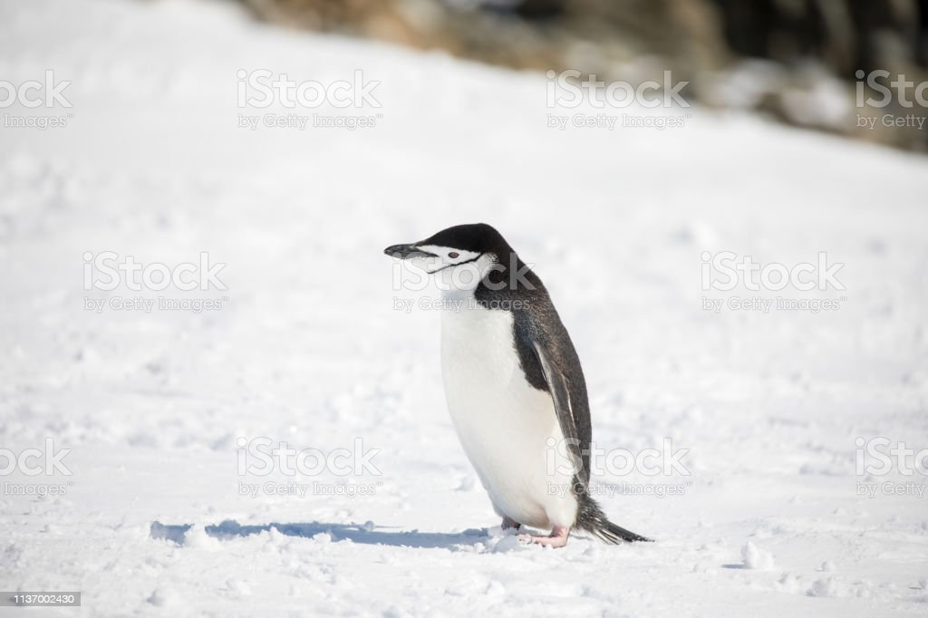 some penguins in the arctic walking around on the north pole and...