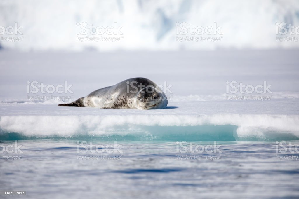 seal and sea lion sitting on a rock in the sun in the antarctica by...