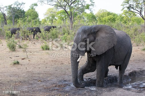 a big elephant family in africa is walking around for eating and drinking water
