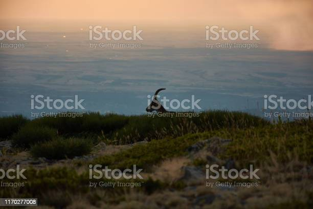 A wild goat walks at sunset through the pico de pealara in the sierra picture id1170277008?b=1&k=6&m=1170277008&s=612x612&h=hb cxc8aoztrkyjnkgpvwqwrpupezv7nwrlxsnbbdg0=