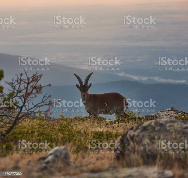 A wild goat walks at sunset through the pico de pealara in the sierra picture id1170277030?b=1&k=6&m=1170277030&s=612x612&h=m qtyuzumesqnqemakaybx5engwaayb mgjklqhuwuc=