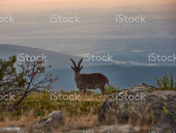 A wild goat walks at sunset through the pico de pealara in the sierra picture id1170277707?b=1&k=6&m=1170277707&s=612x612&h= y8xub le9rpdp xkge2 oxpqqbnktl1bkfoxykddte=