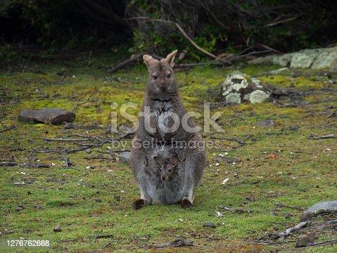 a wild life wallaby in tasmania