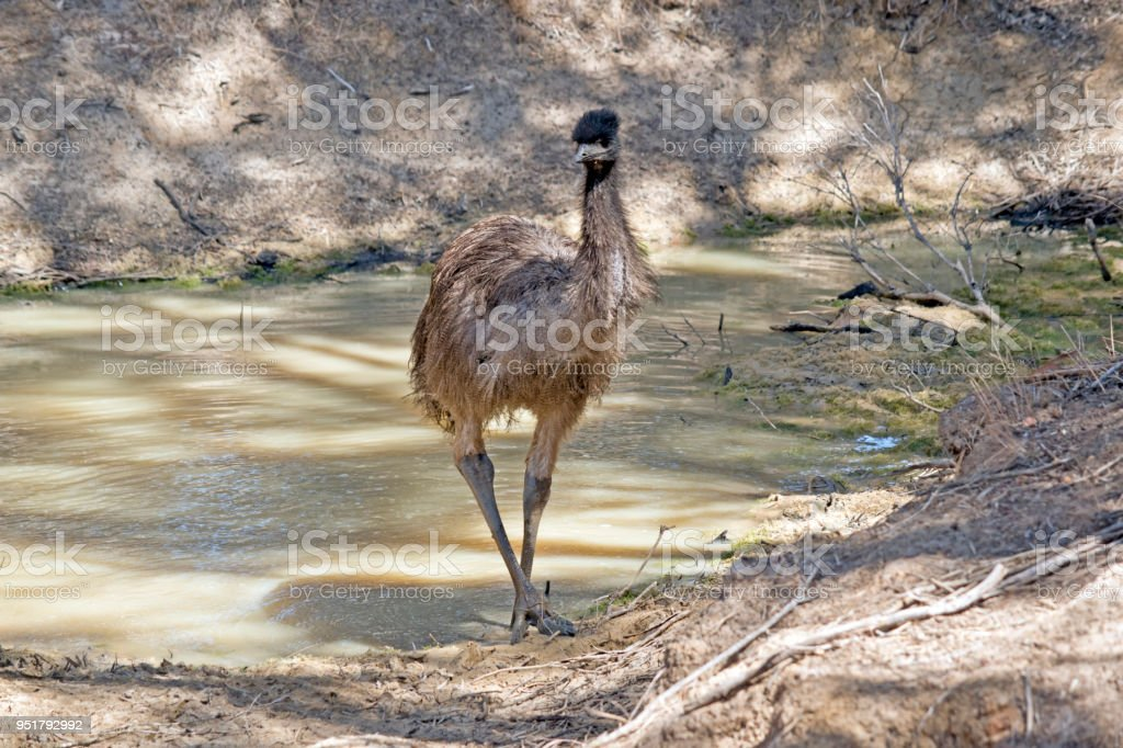 a young emu next to water stock photo