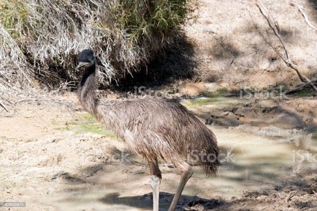 a young emu stock photo