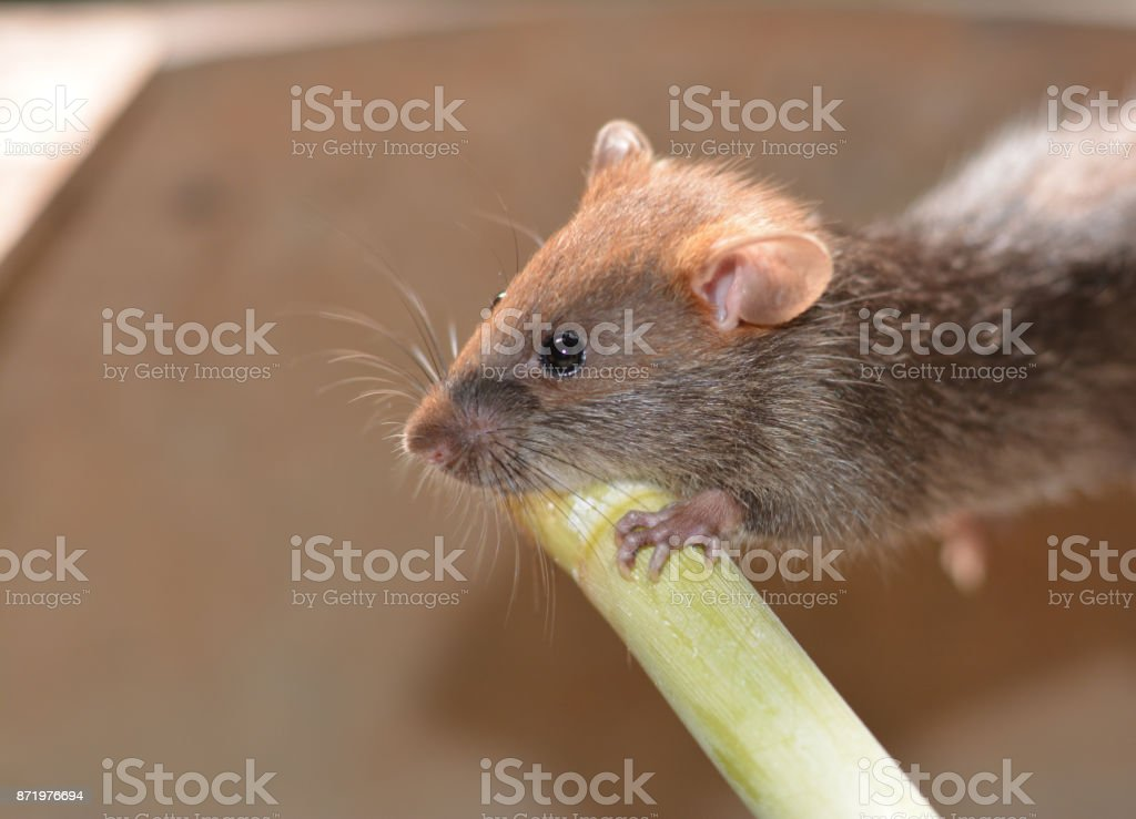 a young grey- brown rat holding  the green timber in farmhouse stock photo