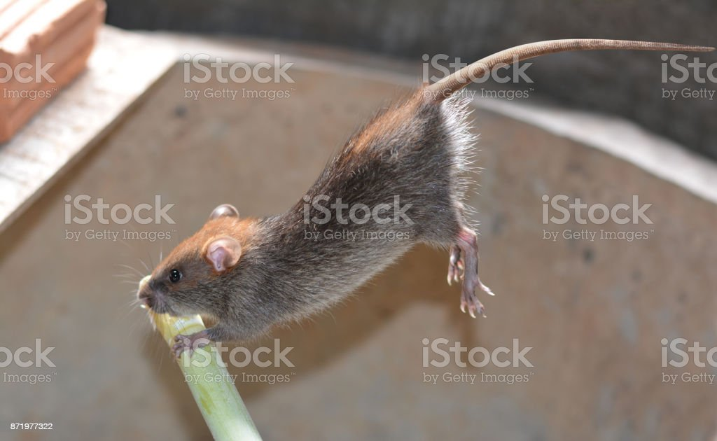 a young grey- brown rat jumping to the green timber in farmhouse stock photo