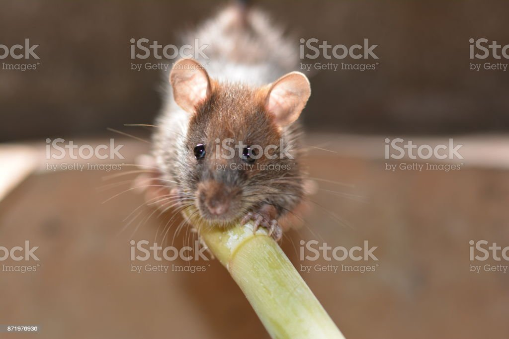 a young grey- brown with big ears and clear eyes rat holding  the green timber in farmhouse stock photo