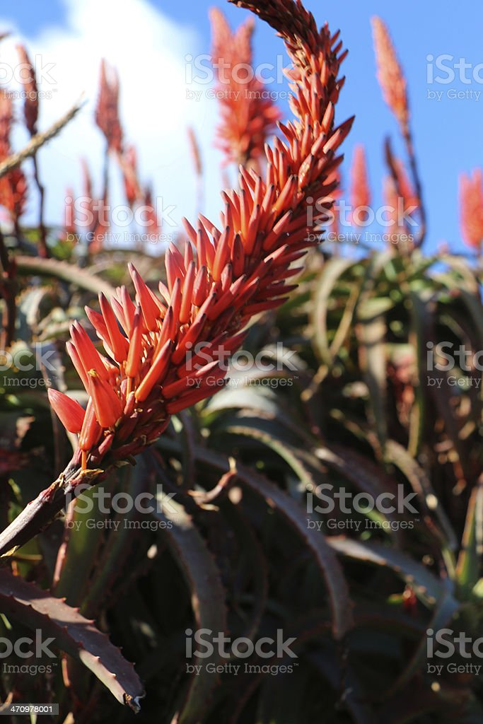 Aalwyn Flower stock photo