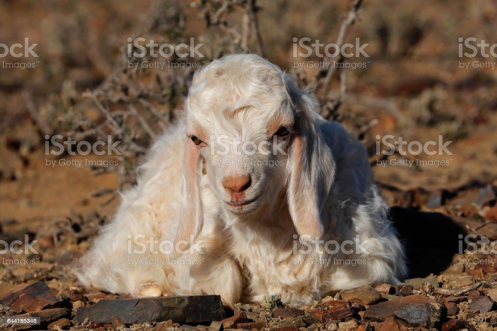 Aangora goat kid on a rural farm stock photo