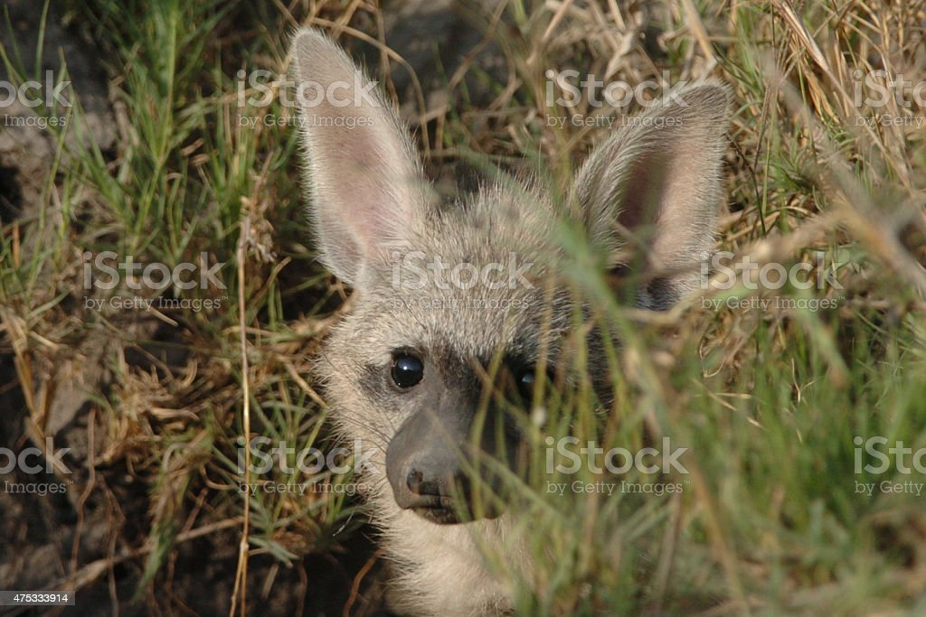 Aardwolf stock photo