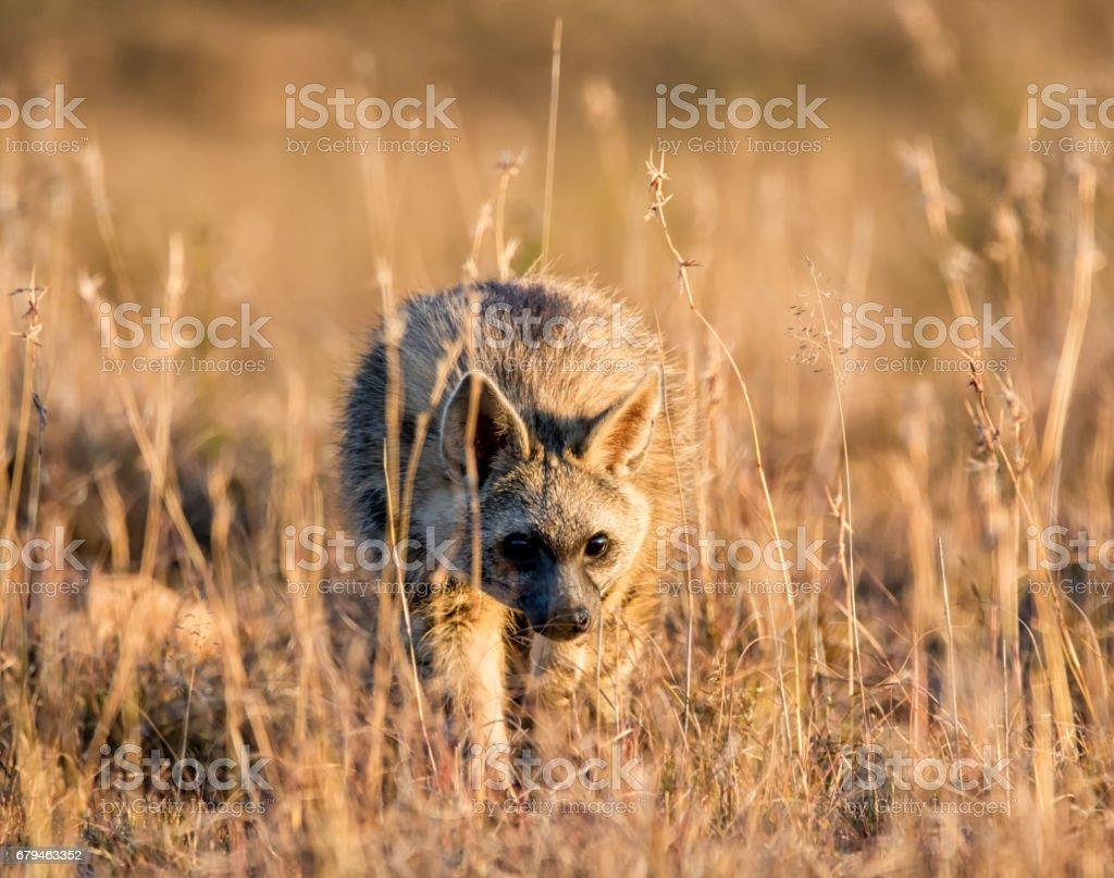 Aardwolf royalty-free stock photo