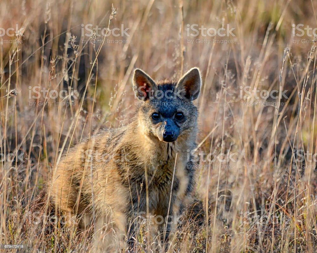Aardwolf 免版稅 stock photo
