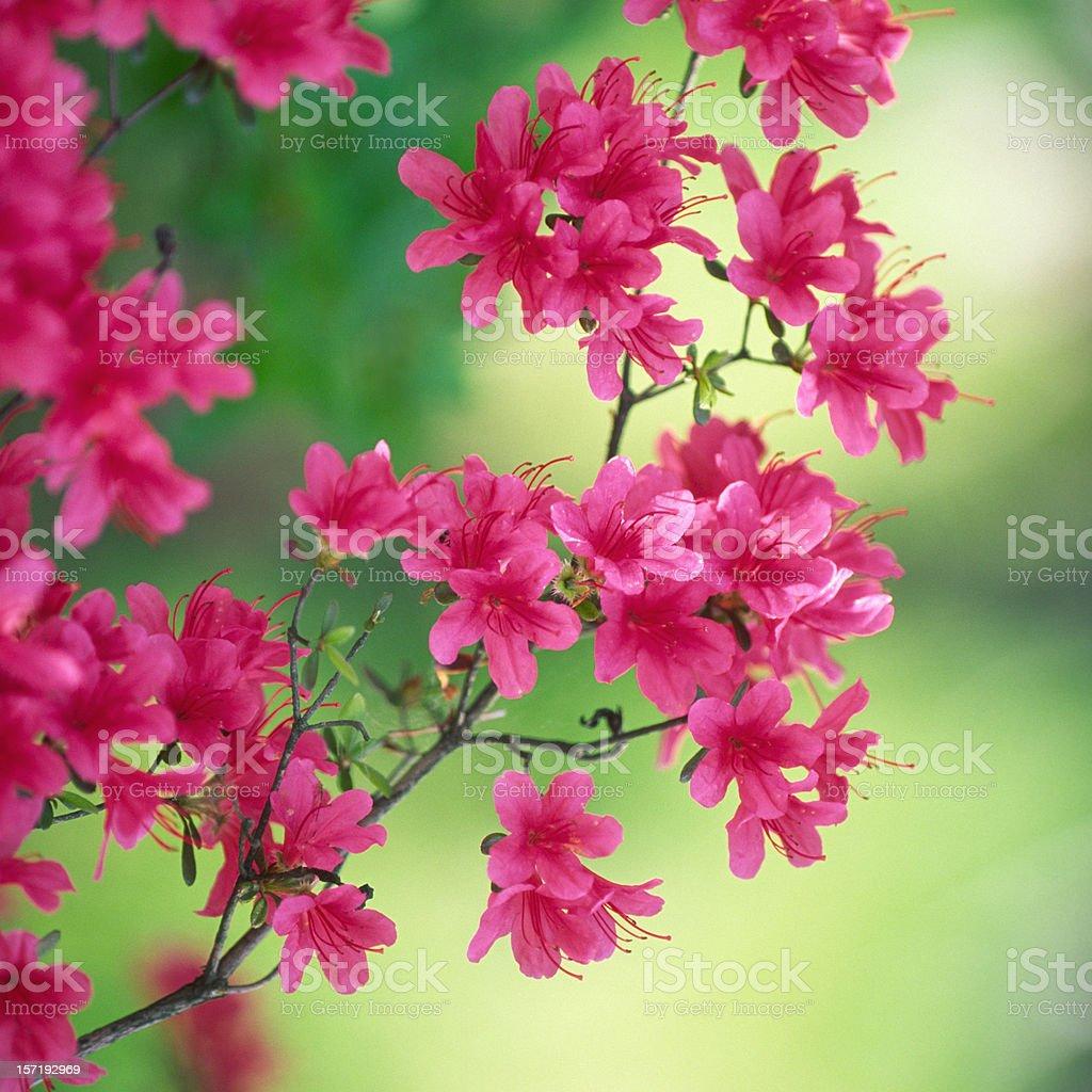 Aazalea at beautiful day stock photo