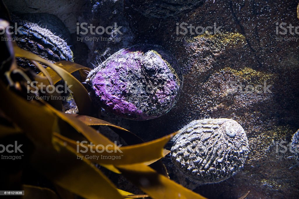 Abalone alive stock photo