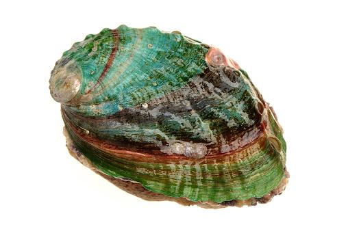istock Abalone Isolated on white  background 942626448