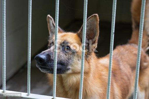 Belgian shepherd in cage.