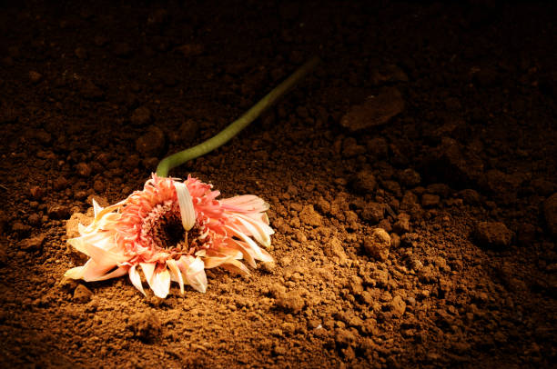 Abandoned flower on the ground Abandoned flower on the ground disavow stock pictures, royalty-free photos & images