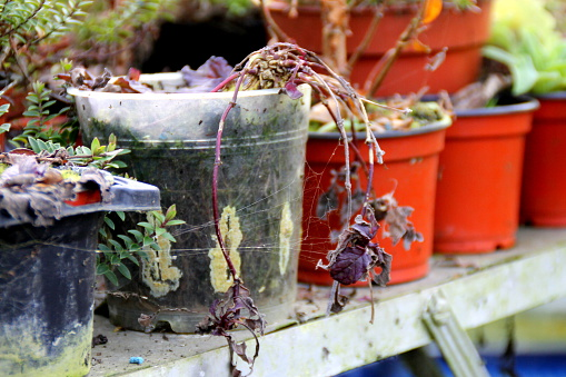 Abandoned greenhouse plants in pots on workbench