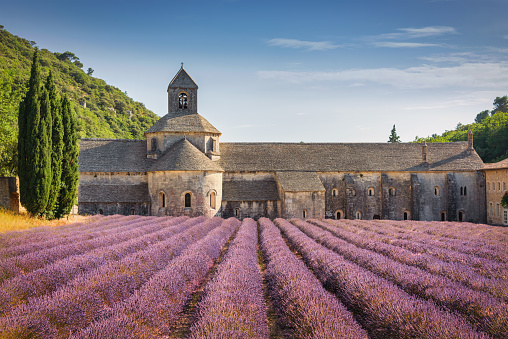 Colorful purple Lavender Field in front of the historic Sénanque Abbey - Abbeye de Senanque - Notre-Dame de Sénanque - built in the year 1178 under blue summer sky.  Monks who live at Senanque grow lavender and tend honey bees for their livelihood. Senanque Abbey, close to Gordes, Vaucluse, Provence, France, Europe