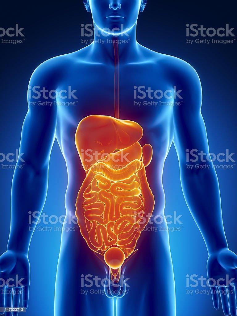 Fotografía de Los órganos Abdominales Vista Anterior y más banco de ...