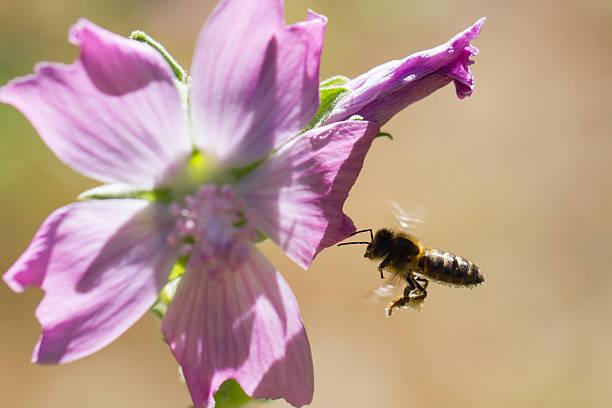 Abeja Abeja volando hacia flor alas stock pictures, royalty-free photos & images