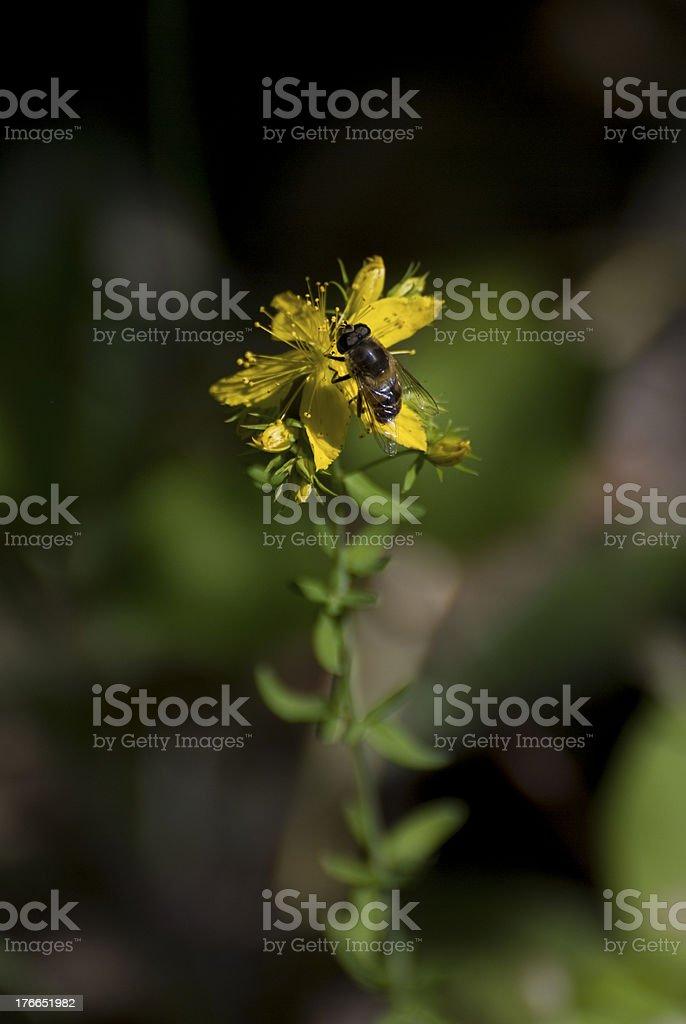 abeja posada en hiperico royalty-free stock photo