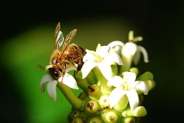 Abeja posada livando flor blanca noni Perch bee sucking white noni flower. Soft black blur background. alas stock pictures, royalty-free photos & images