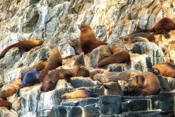 아벨 타스만-물개 바위에서 일광욕 하 고 의미 - 태즈먼 해 뉴스 사진 이미지