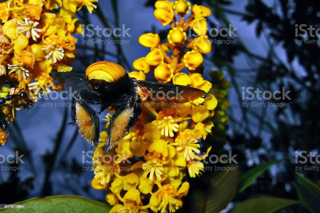 Abelha Mangagava-nigrita (Epicharis nigrita) Moure's Bee stock photo