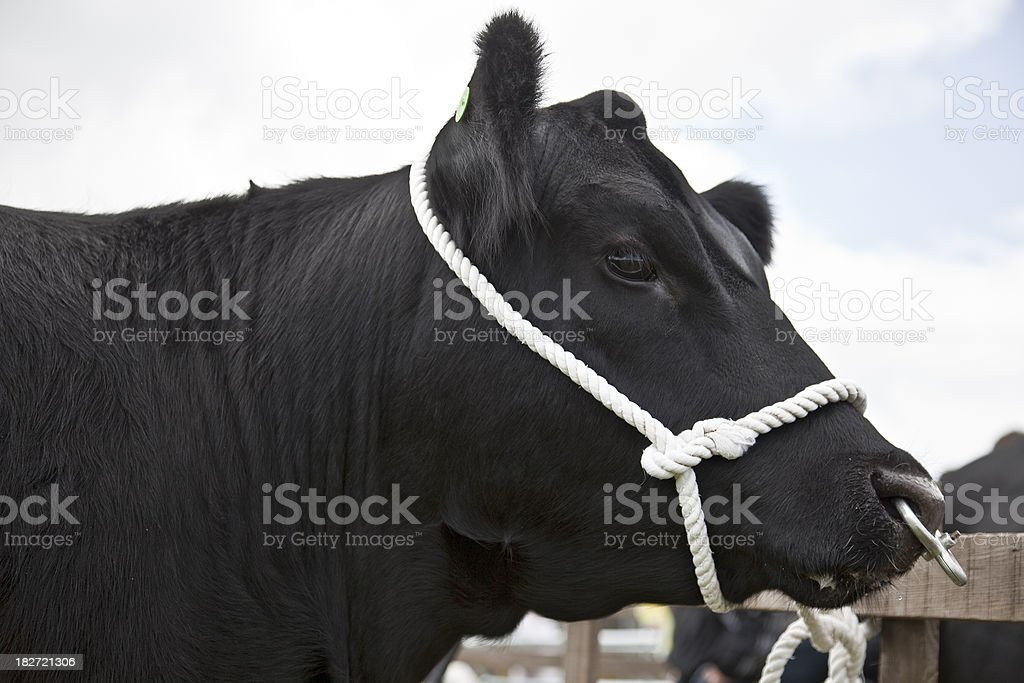 Aberdeen Angus (beef cattle) Bull head in profile stock photo