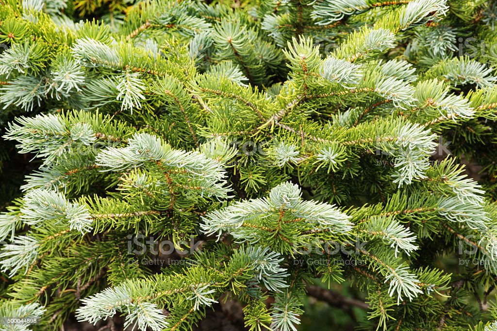 Abies lasiocarpa Rocky Mountain Fir Branches stock photo