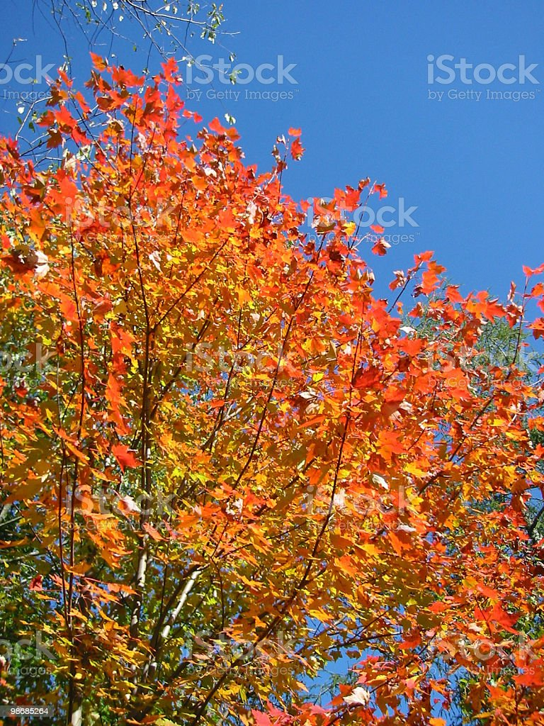 Ablaze - Brilliant Fall Colors royalty-free stock photo